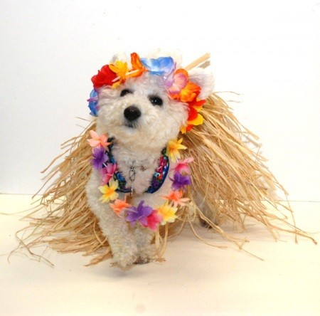 Small white poodle-like dog wearing a lei and dry grass skirt