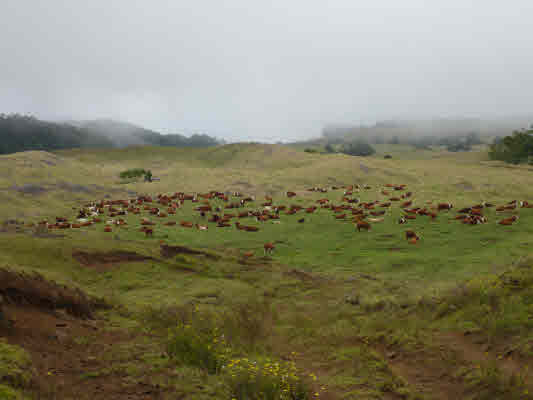 SC Ranch herd of cattle for sale Big Island