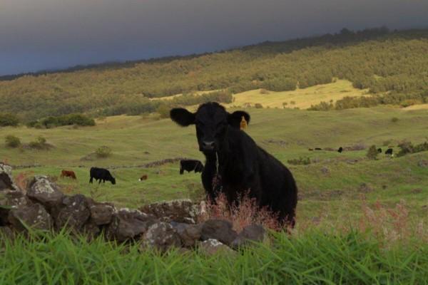 kula cattle