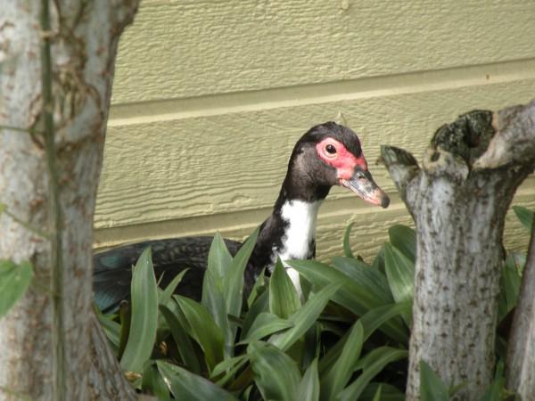 duck at Elima Lani