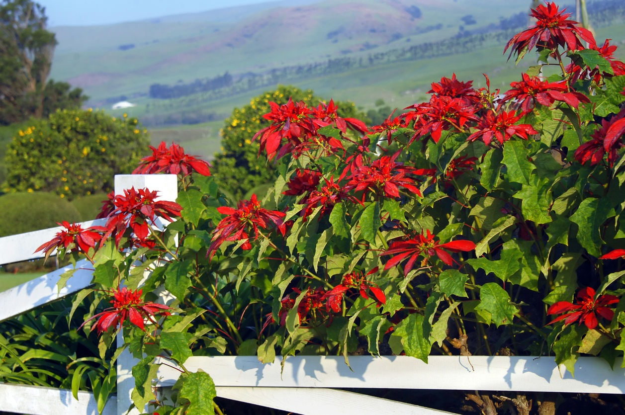 Does hawaii have seasons hawaii real estate market trends here on the big island during the winter months just before thanksgiving hedges of poinsettia and fields of white coffee flowers go into full bloom izmirmasajfo
