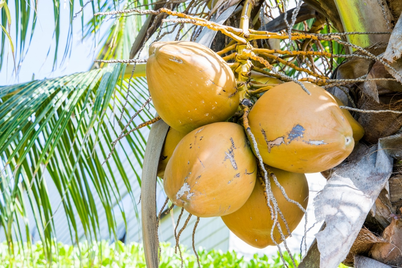 Mature coconuts on a palms