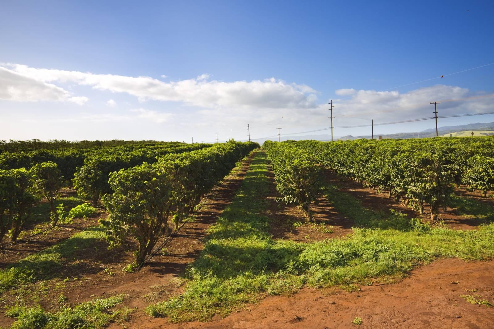 Coffee Plantation On The Big Island