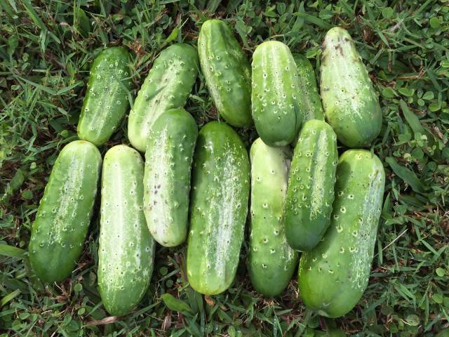 Baby cucumbers grown in Haiku Maui