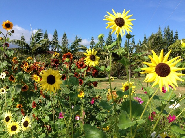 Sunflower garden in Haiku