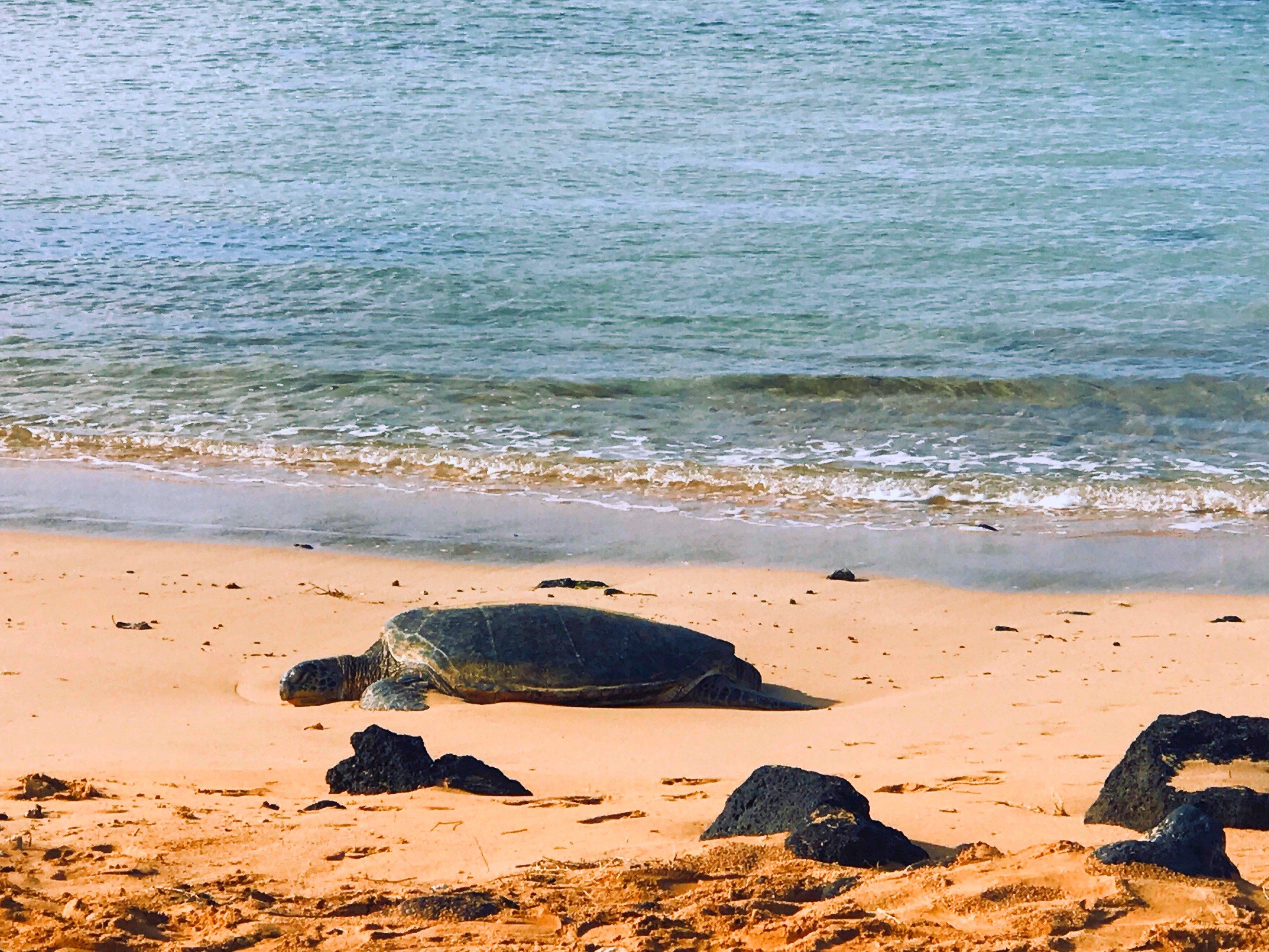 Turtle at Poipu Beach