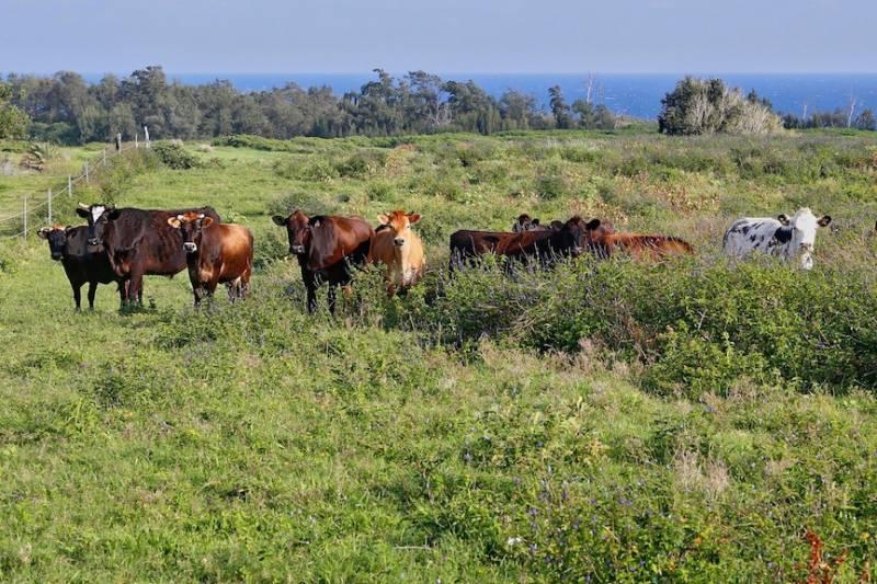 Cattle graze 117 acres Kohala