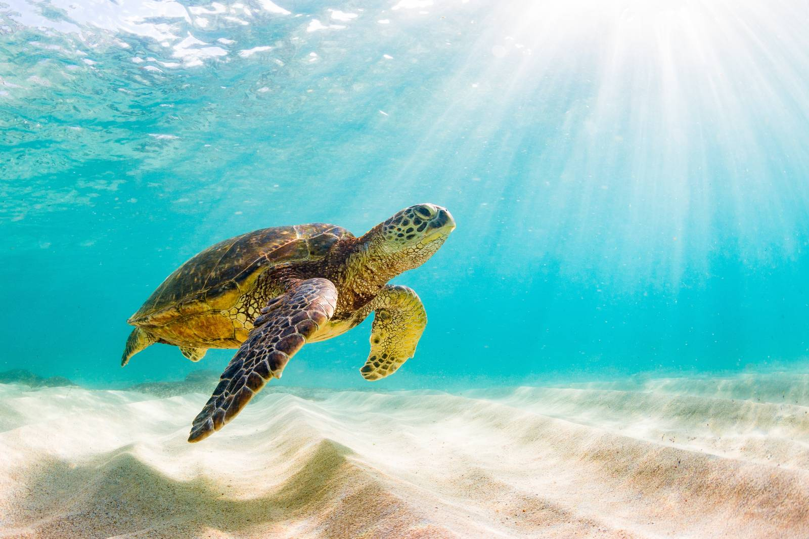Beautiful Hawaiian Green Sea Turtle
