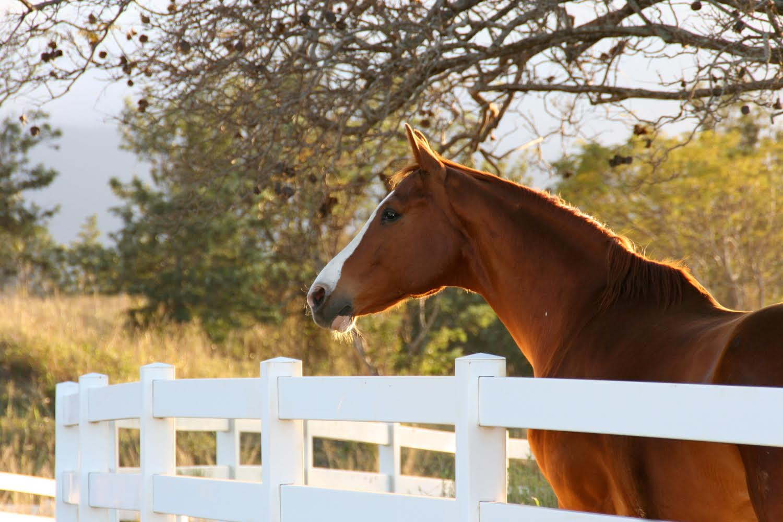 Horse at Puu Lani Ranch shared barn and paddocks