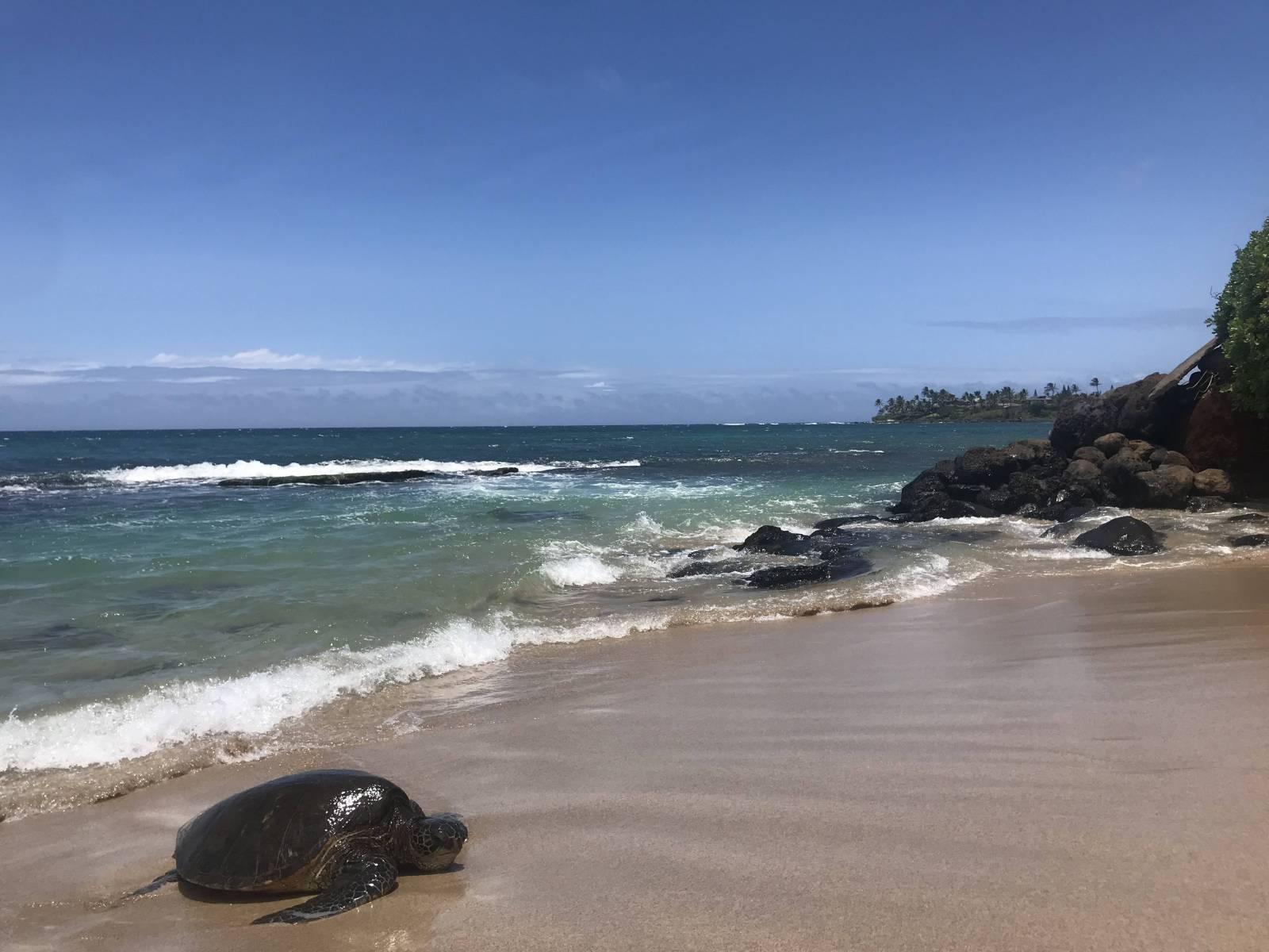 Honu at Tavares Beach
