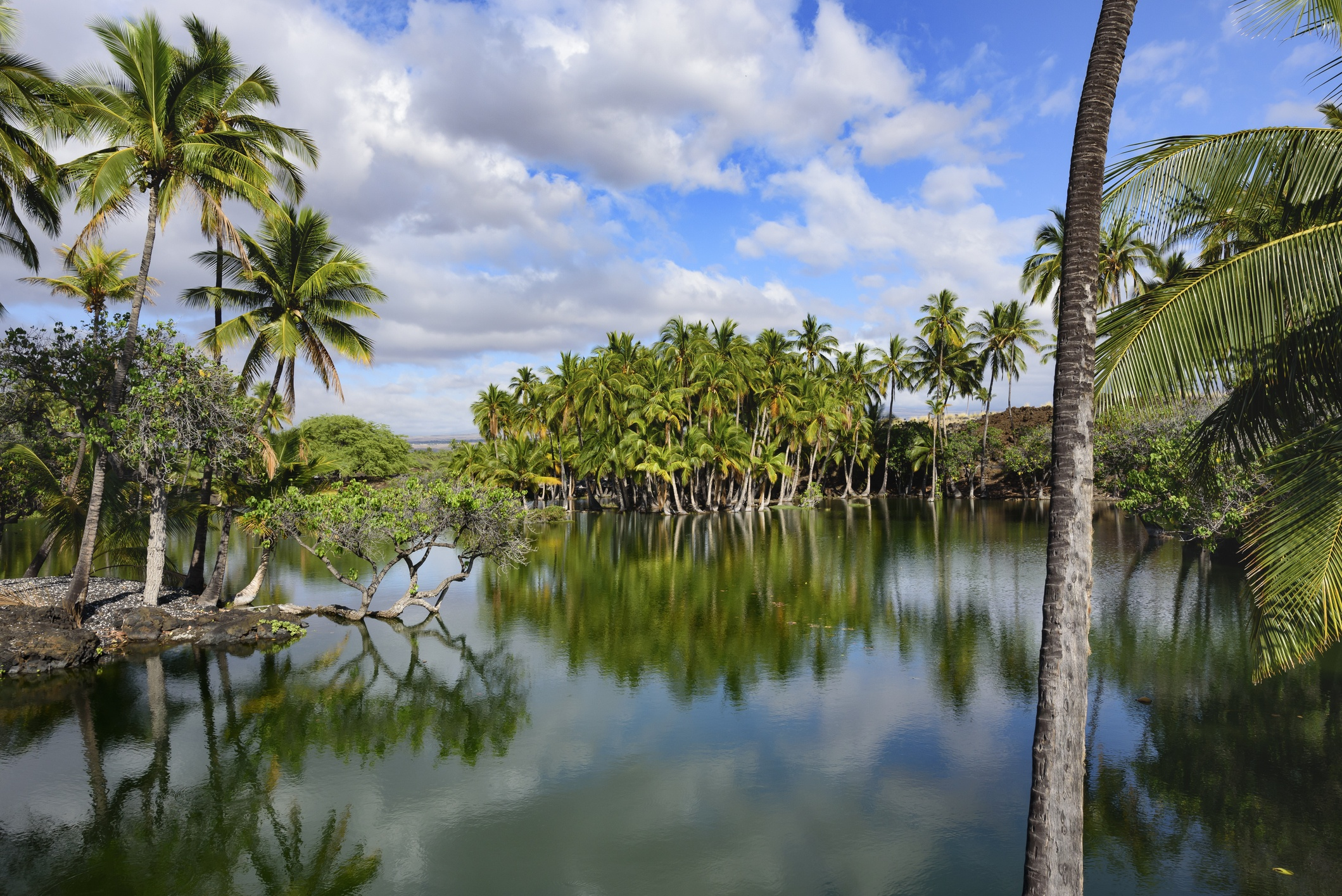 A group of palms lying on pond banks