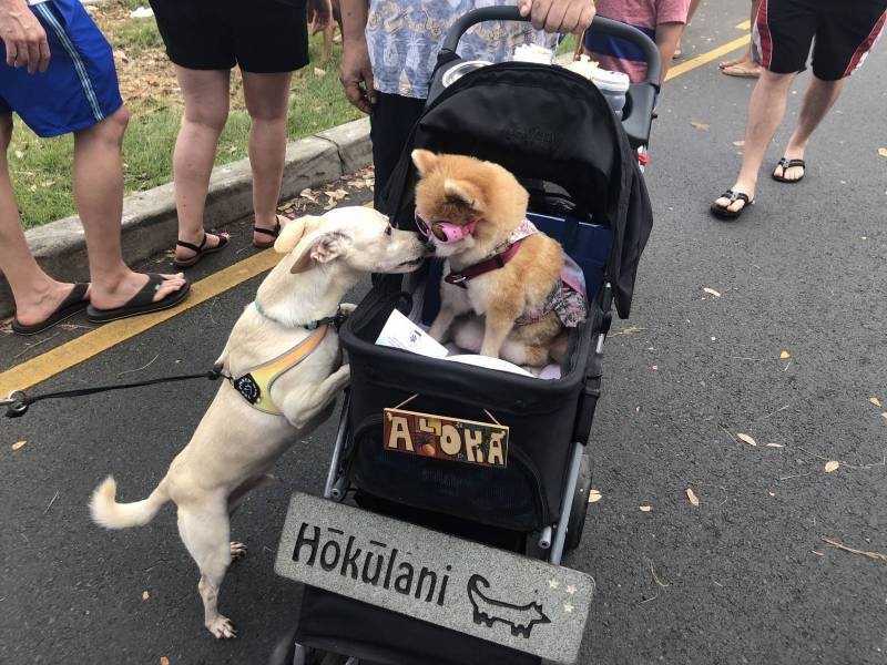 Puppy Love at the I Love Kailua Town Party, 2019