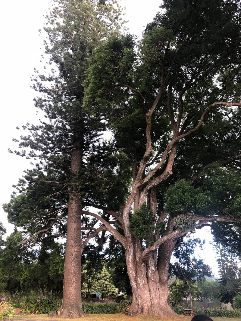 Trees, Upcountry Maui
