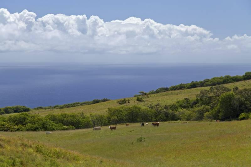 Cattle on Kohala 67 acres