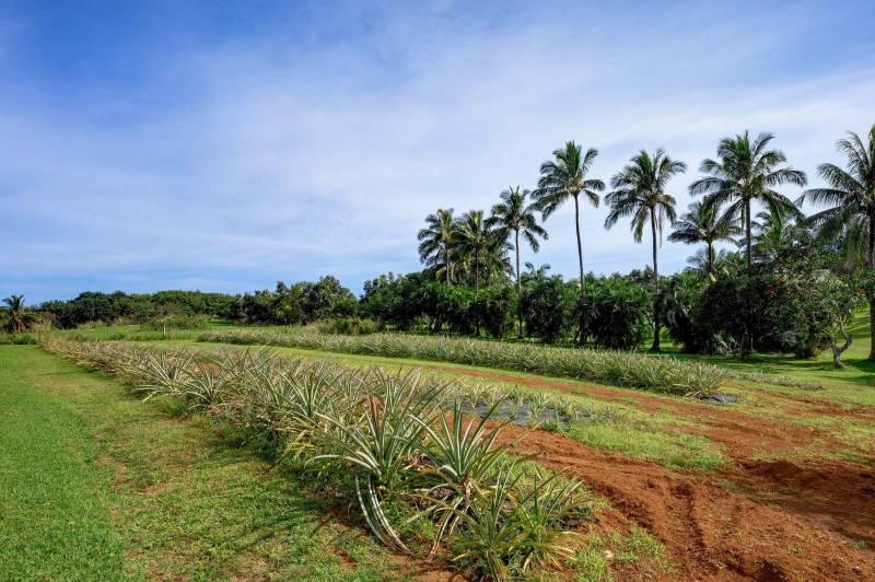 Rows of sugarloaf pineapples - MLS 636501