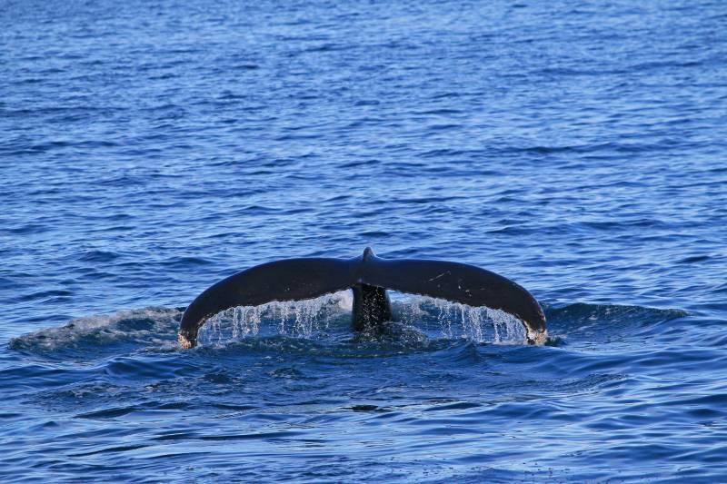 Last humpback whale of the season