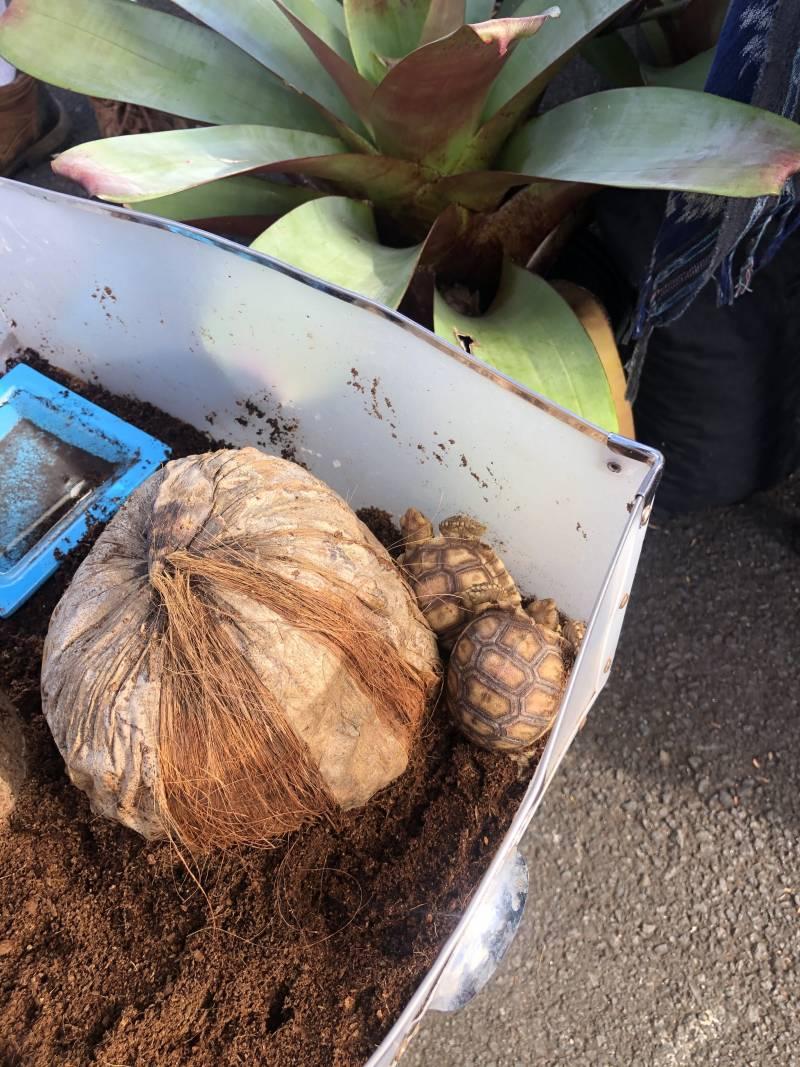 Maui Turtles