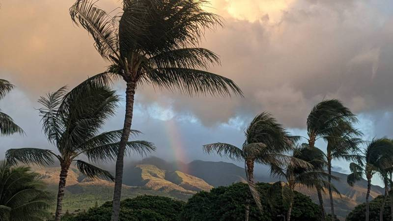 palm trees blowing in west maui