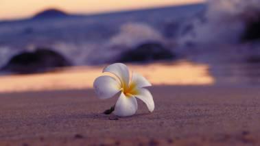 plumeria flower on oahu beach