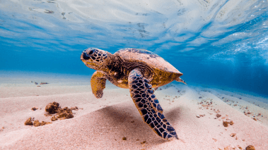 honu sea turtle in hawaii ocean