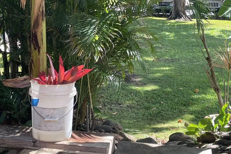growing hawaiian ti plants from cuttings