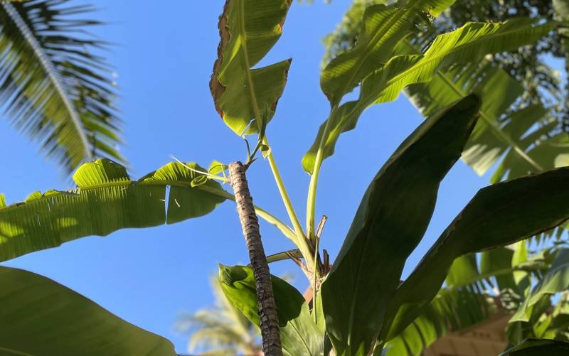 how to grow hawaiian ti plants