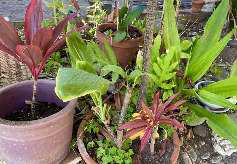 pots full of hawaiian ti plants on maui