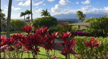 red ti plants on maui