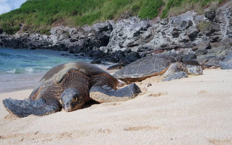 honu sea turtles on hawaii beach
