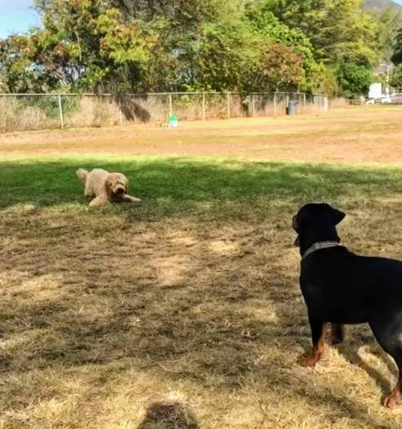 dogs play in oahu dog park