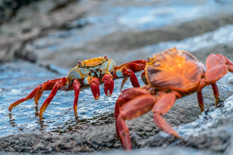two crabs fighting on hawaii beach