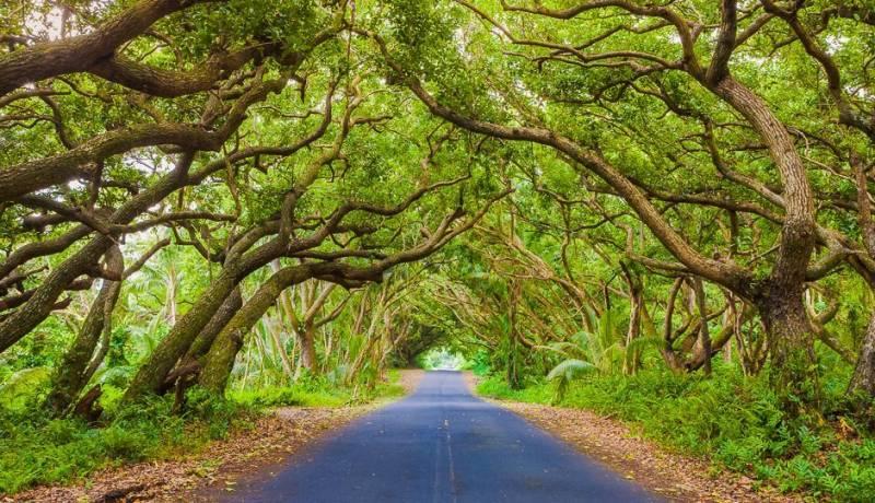 tunnel of trees on big island hawaii