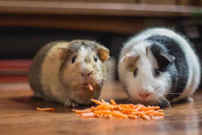 hamsters eating cheese