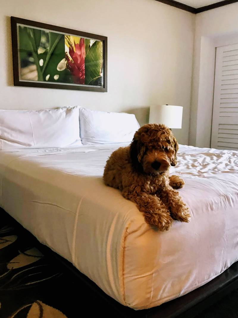 pet friendly hotels oahu