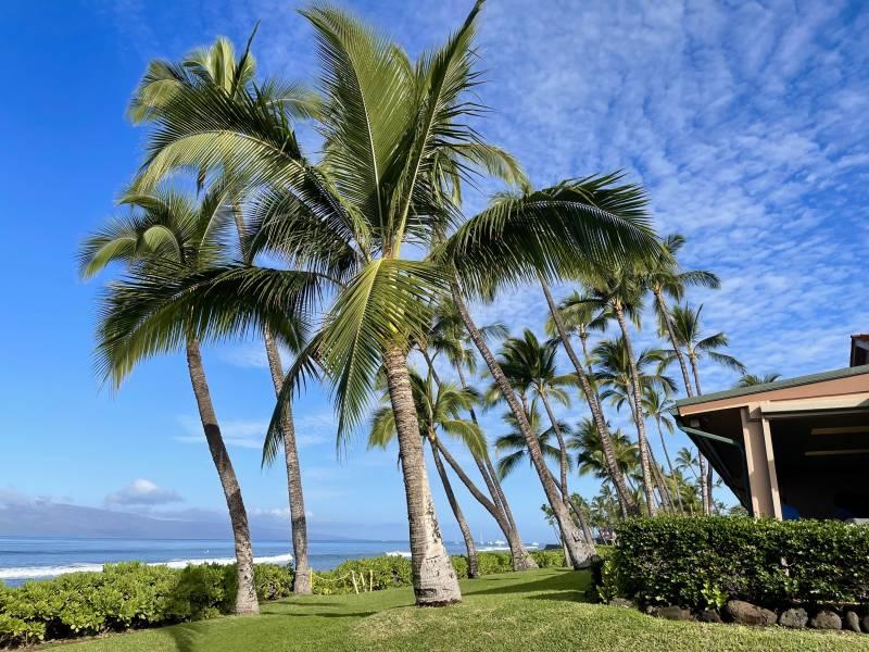 palm trees and ocean views at puamana