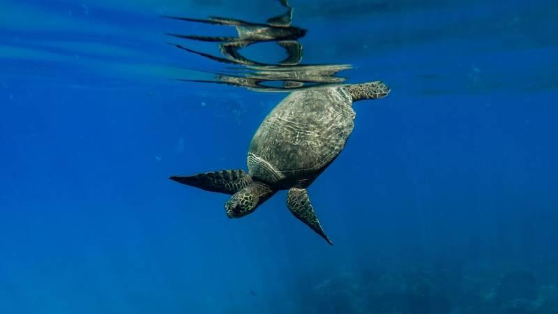 sea turtles on the big island