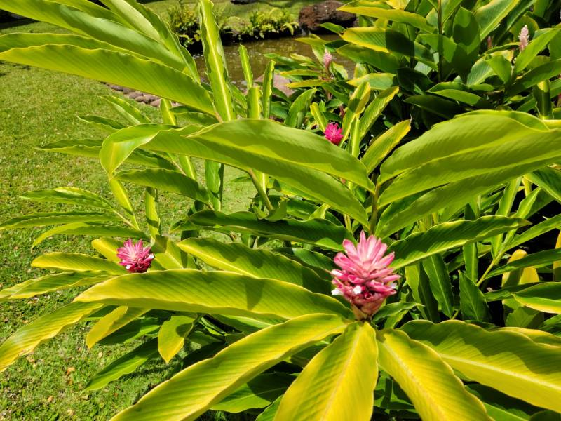 Bright green ginger plant with pink flower