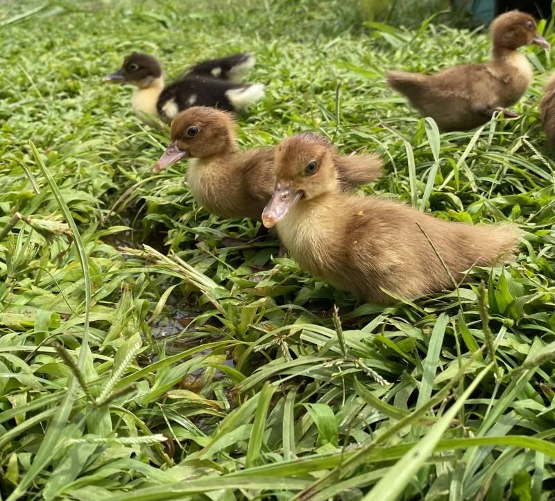 baby ducks on the big island