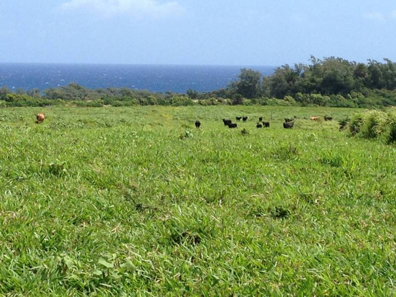 Cattle on ocean view land in Kohala