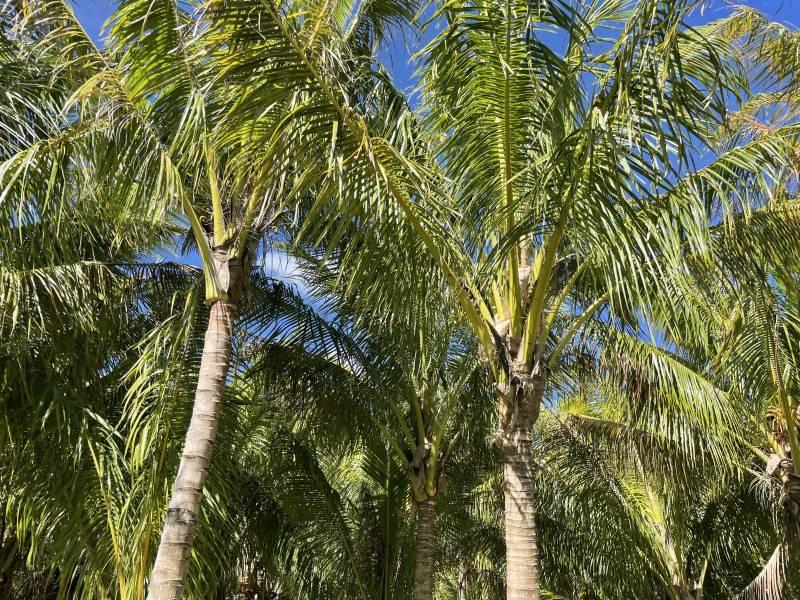 Palm trees on big island hawaii