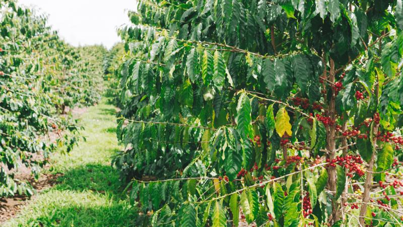 coffee plants growing on big island hawaii