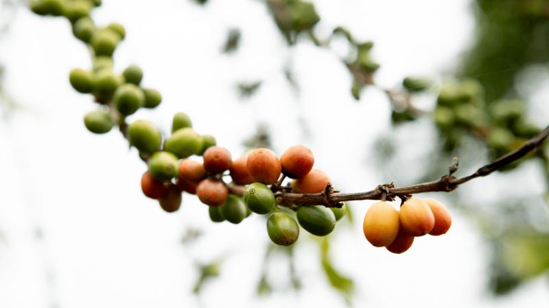 kona coffee beans growing in big island hawaii