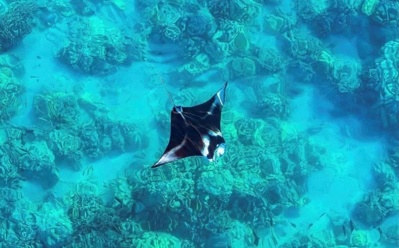 stingray under water