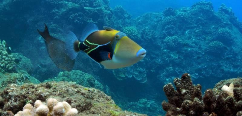 Picasso,Triggerfish,At,Black,Rock,,Kaanapali,,Maui.