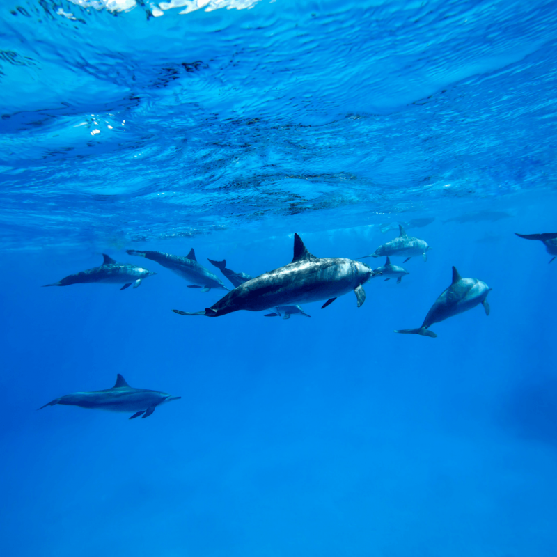 dolphin pods big island snokeling destinations