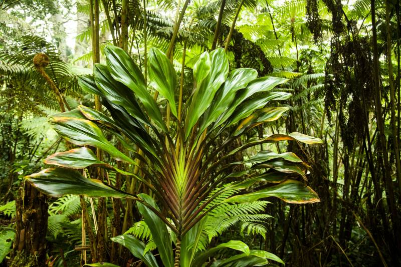tropical plants in forest on big island hawaii