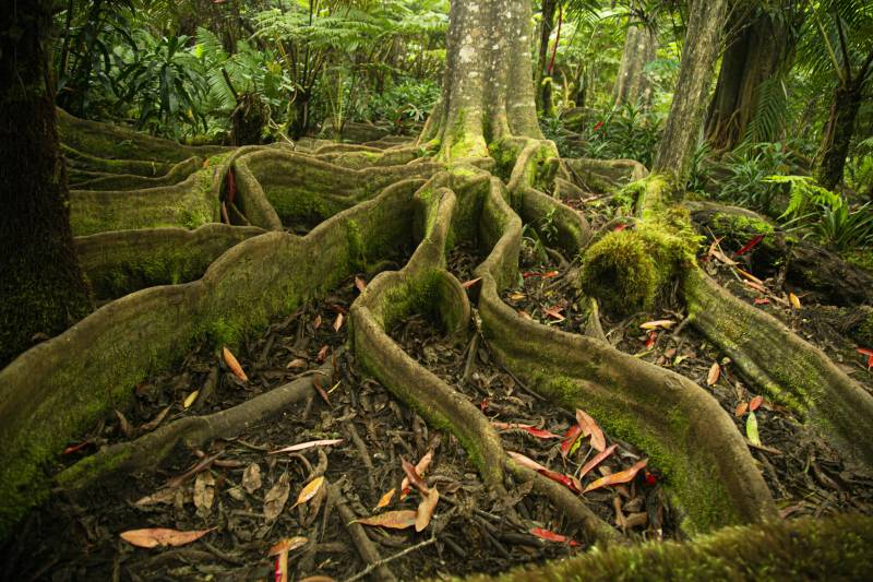 roots extend from a tree in kona cloud forest hawaii island
