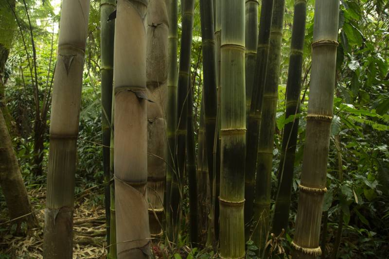 bamboo growing in kona cloud forest